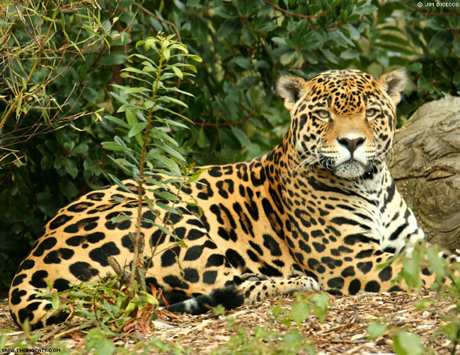 Jaguar, Amazon Rainforest Peru