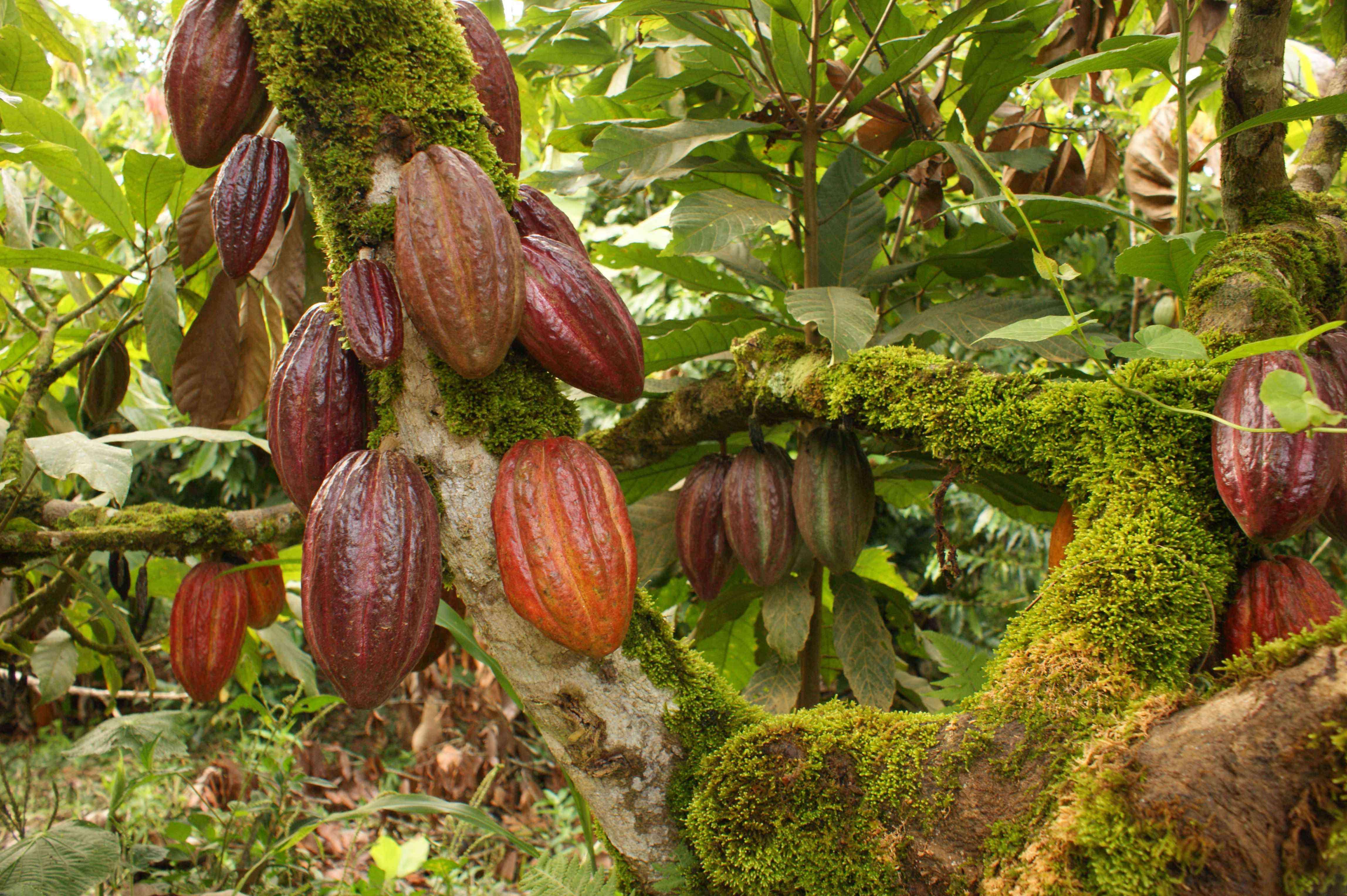 Перуанское какао и шоколад
