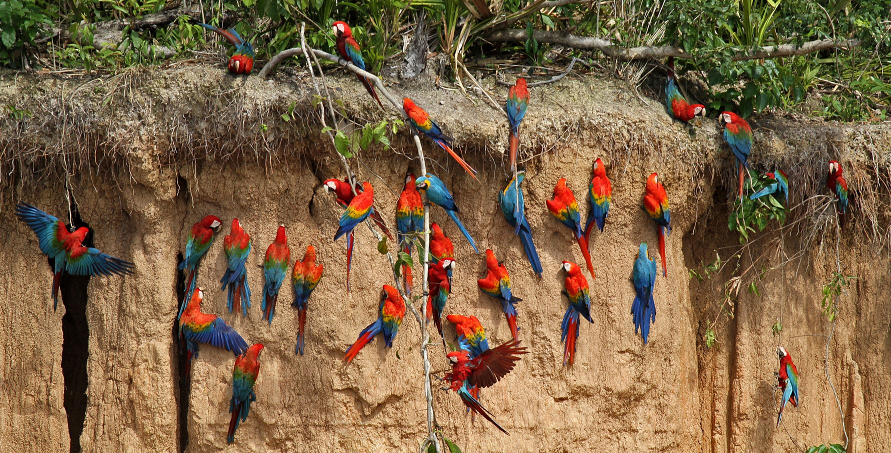 Глиняный берег попугаев Ара в джунглях Амазонии