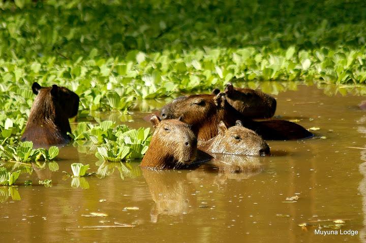 Капибары в джунглях Амазонии, лодж Муйуна
