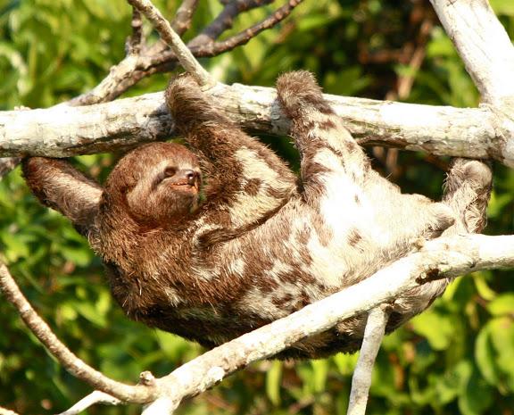 Ленивец в джунглях Амазонии, лодж Муйуна