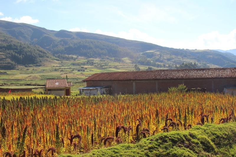 Поля киноа в Перу / Quinoa fields in Peru